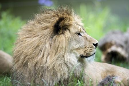 buch: Lion Stock Photo