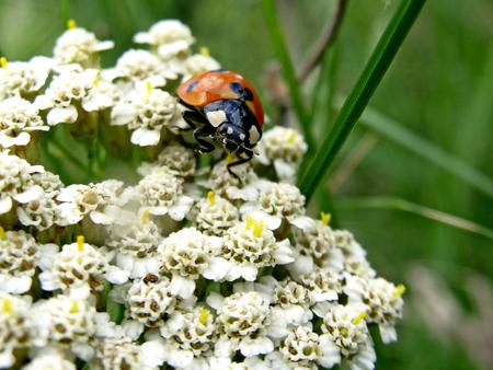 petites fleurs: coccinelle sur de petites fleurs