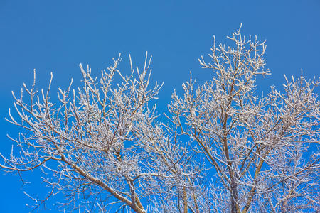 tree branches in the frost on a blue sky background