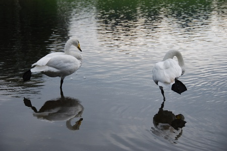 shallow water: Pair of white swans standing in shallow water with reflection