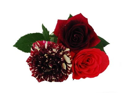 Three different red tint roses isolated on white background Stock Photo