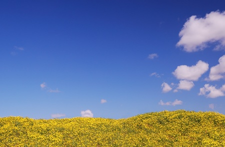 Bright yellow field under blue sky with some clouds on spring day