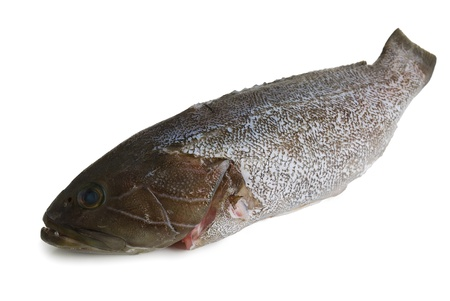 unprocessed: Scaled dusky  grouper fish (locus)  isolated on white background