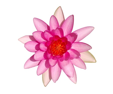 Top view of beautiful bright pink water lily flower isolated on white background