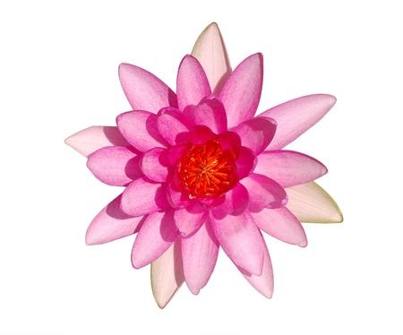 Vue du haut de belle couleur rose vif fleur de nénuphar isolé sur fond blanc