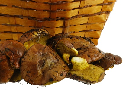 Freshly collected wild mushrooms and interwoven straw basket isolated on white background