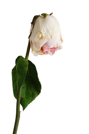 Single wilted  pale pink color rose with one leaf isolated on white background Stock Photo - 14149431
