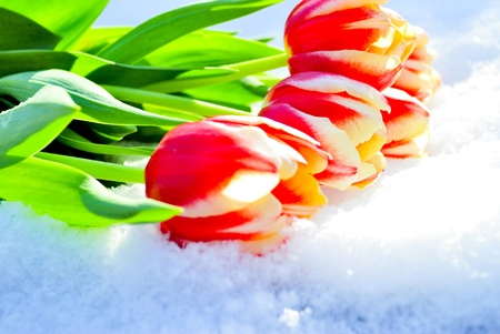 births: Five red tulips lie on snow on the sun