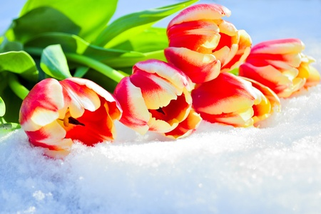 Five red tulips lie on snow on the sun