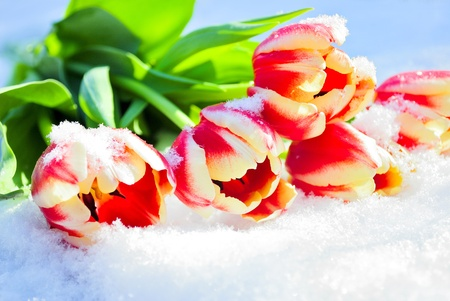 Five red tulips lie on snow on the sun Stock Photo - 11816315