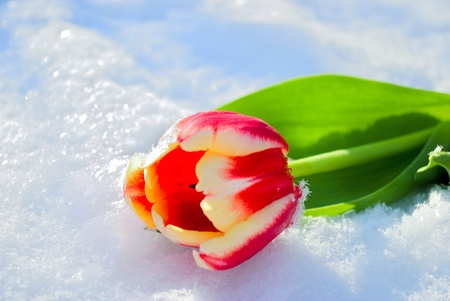 One red tulip lies on snow on the sun