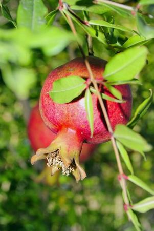 haemoglobin: red ripe garnet on tree