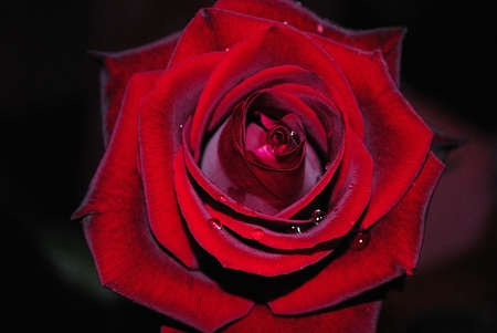 births: one red rose Stock Photo