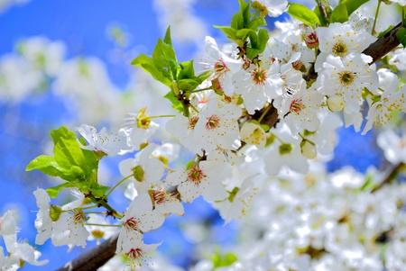 flowering spring tree on blue sky  Stock Photo