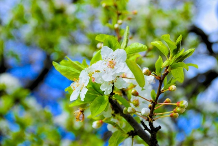 flowering spring tree on blue sky Stock Photo - 13054685