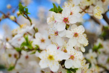 births: flowering spring tree on blue sky