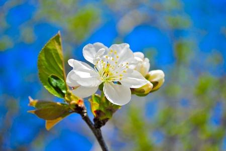 flowering spring tree on blue sky