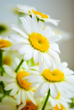 daisywheel: bouquet white daisywheel