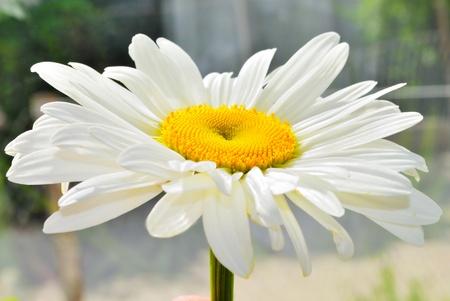 bouquet white daisywheel