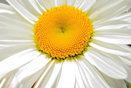daisywheel: one blanching daisywheel