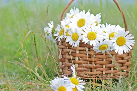 Basket with a bouquet of daisies in a field  photo