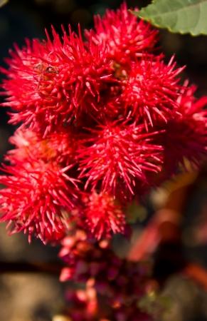 red hedgehog