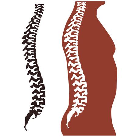 vertebra: back, vertebra