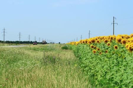 the sunflower field is roads along