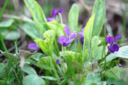 field flowers, growings wild violets