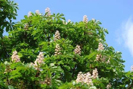 Flowers of chestnut on a background blue sky