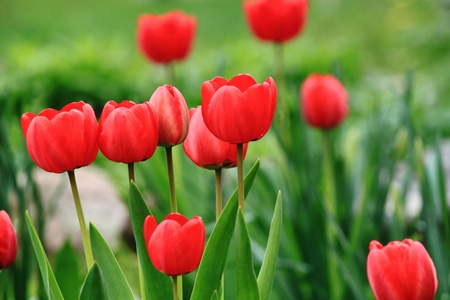 Red tulips are in a flower-garden