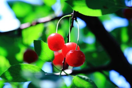 Berries of cherry on a tree among a foliage