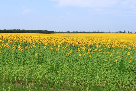 locality: The sunflower field is in rural locality Stock Photo