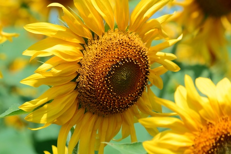 locality: Flowering of sunflower on the field in rural locality
