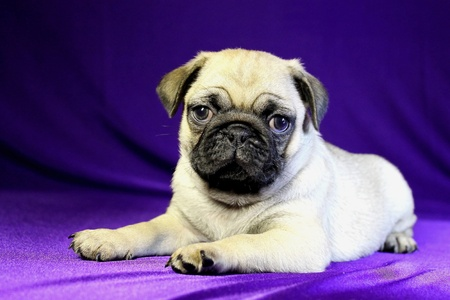 Nice puppy of Pug on a violet background