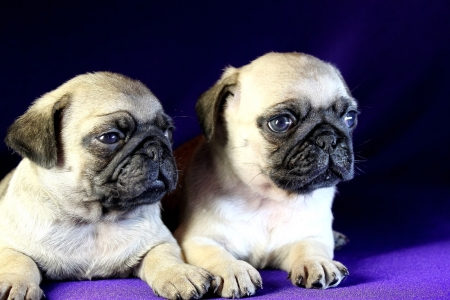 Nice puppies of Pug on a violet background Stock Photo