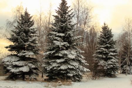 Fir-árbol en el bosque por un día de invierno frío Foto de archivo