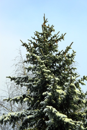 Fir-tree on a background blue sky Stock Photo