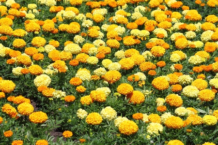 Bed of yellow flowers