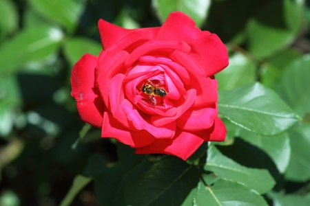 A bee collects nectar from a red rose in a city park Stock Photo