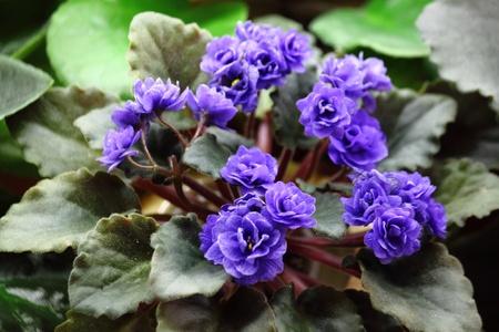 Flowering ornamental violets Stock Photo