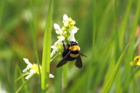 A bumble-bee collects nectar from a flower photo