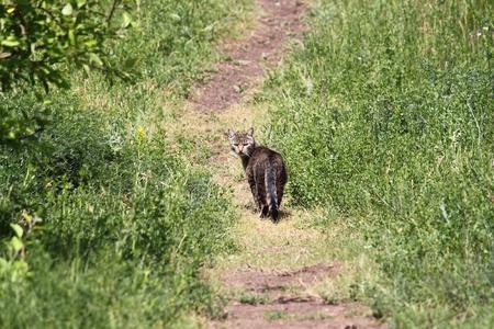 Wild forest cat