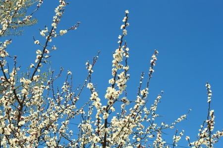 Flowering cherry on a background blue sky