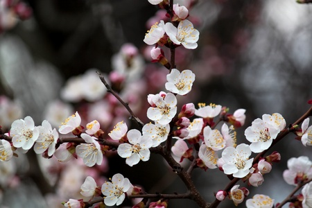 Apricot blooming in spring