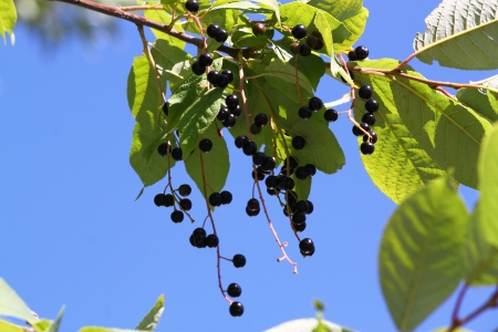 Bush with delicious  black berries in on a background blue sky