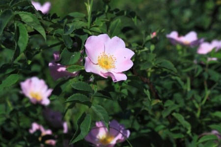 Bush with the flowers of wild rose Stock Photo