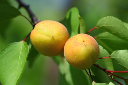 Ripe Apricots on a tree branch in the garden photo