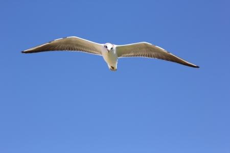 Gulls flying in the blue sky over the Black Sea, Crimea, Ukraine