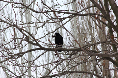 Crow on a tree in the park of city Zaporozhye (Ukraine)